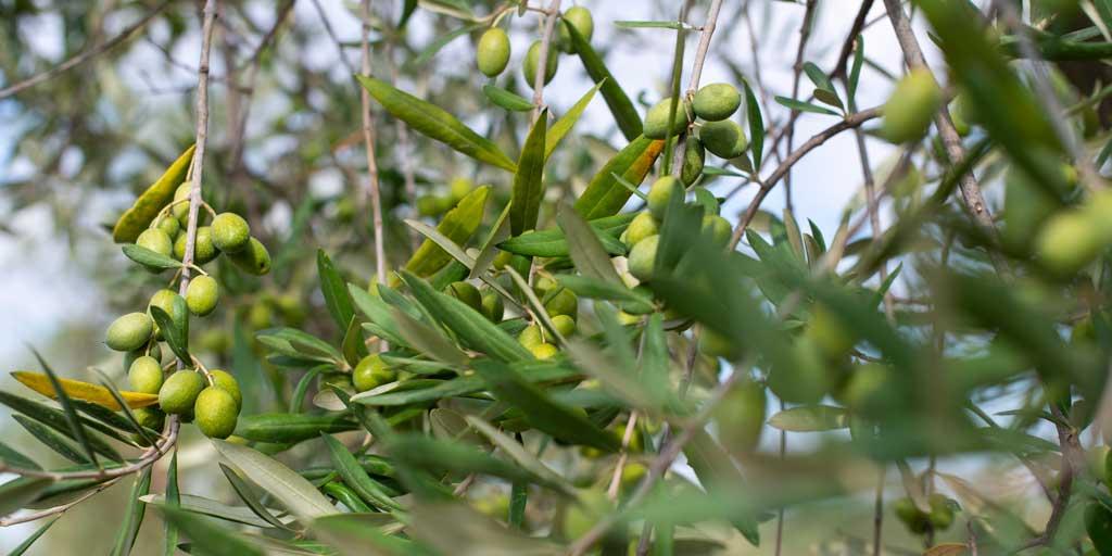 Diccionario de términos relacionados con el aceite de oliva